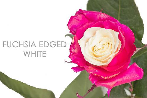 FUCHSIA EDGED WHITE
