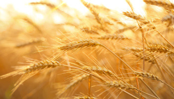 Intolerance To Grains – Alternative Foods