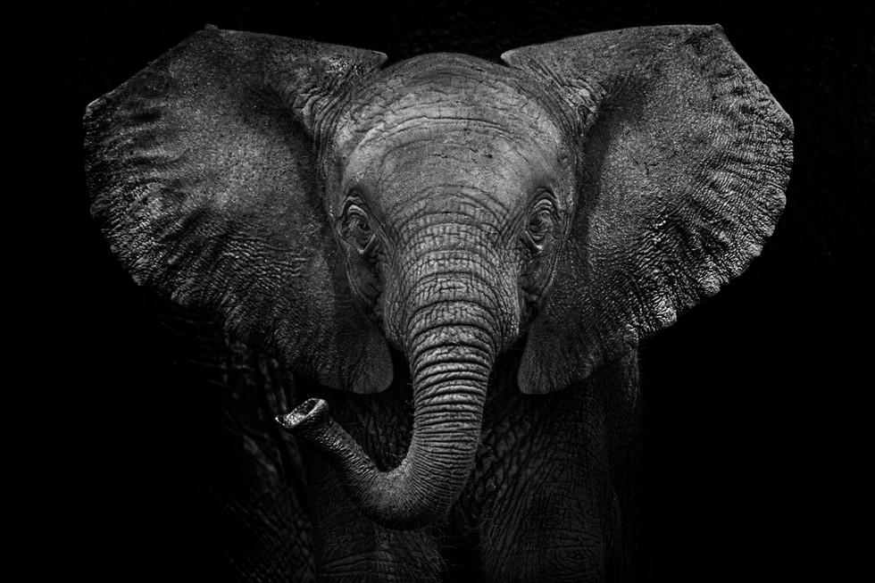 Elefanten Baby Fine Art