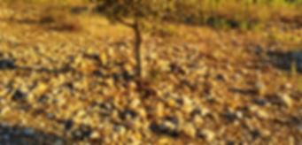 Quemado de un árbol trufero