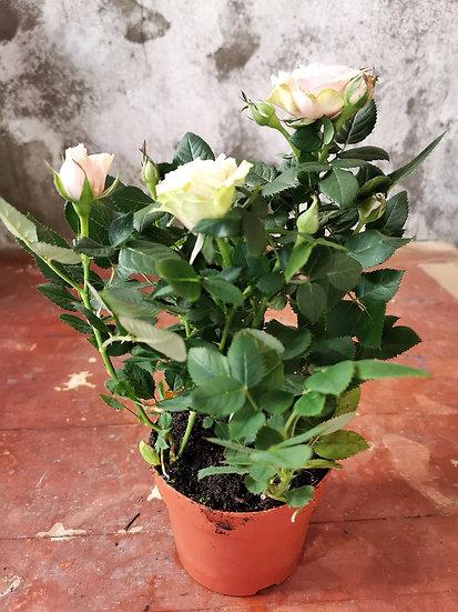 Roseira mini Rosa