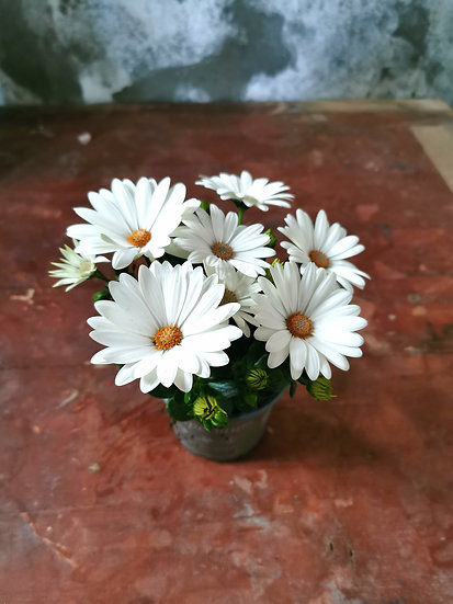 Osteospermum ou Rainha Africana Branca