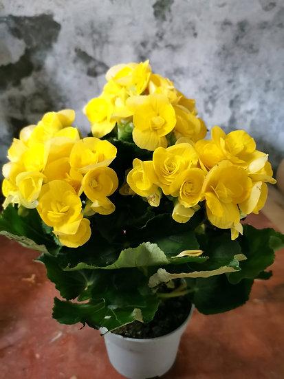 Begónia Amarela