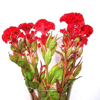 mille fleurs celosias.jpg