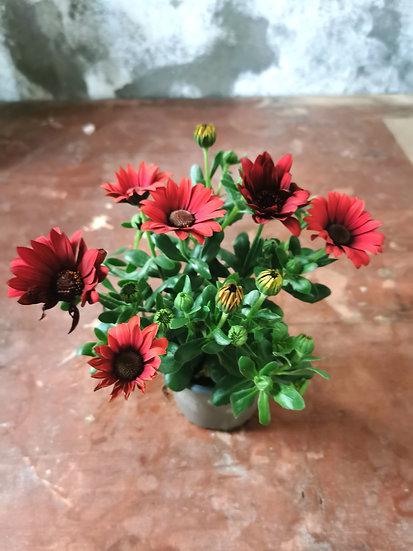 Osteospermum ou Rainha Africana Vermelha