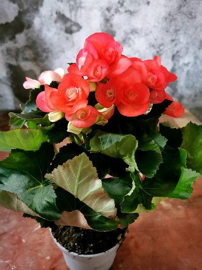 Begónia Rosa Salmão