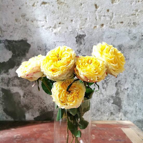 Rosa Piano Amarela
