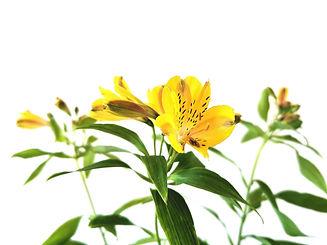 mille fleurs alstomerias.jpg