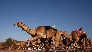 rak camels.jpg