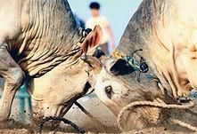 bullfighting fujaira.jpg