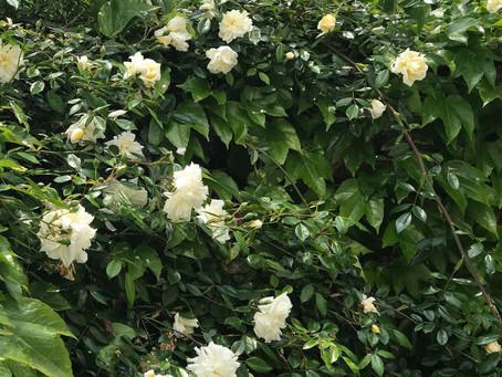バラ満開の季節