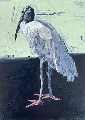 Wood Stork Study