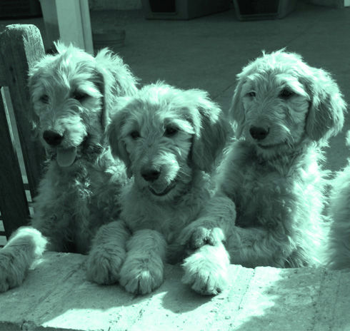 Jennifers Canines Goldendoodle Breeder Home