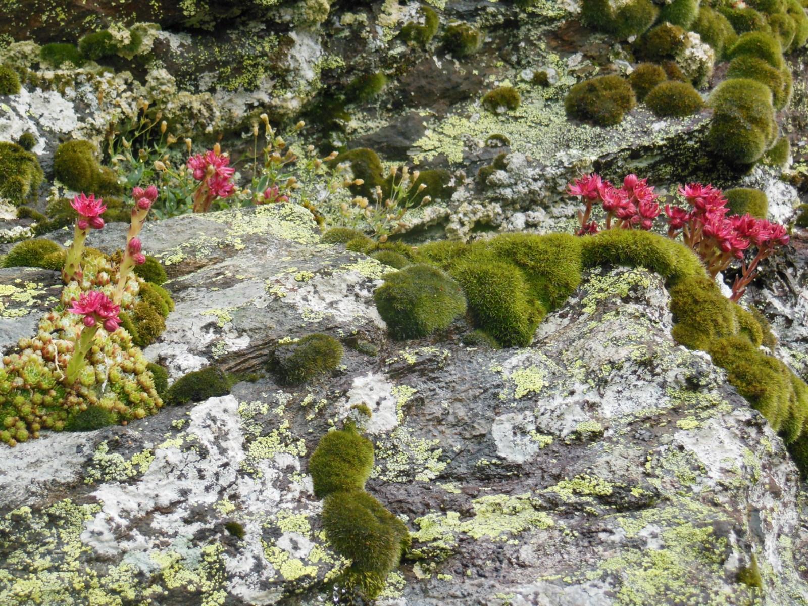 joubarbe et lichen
