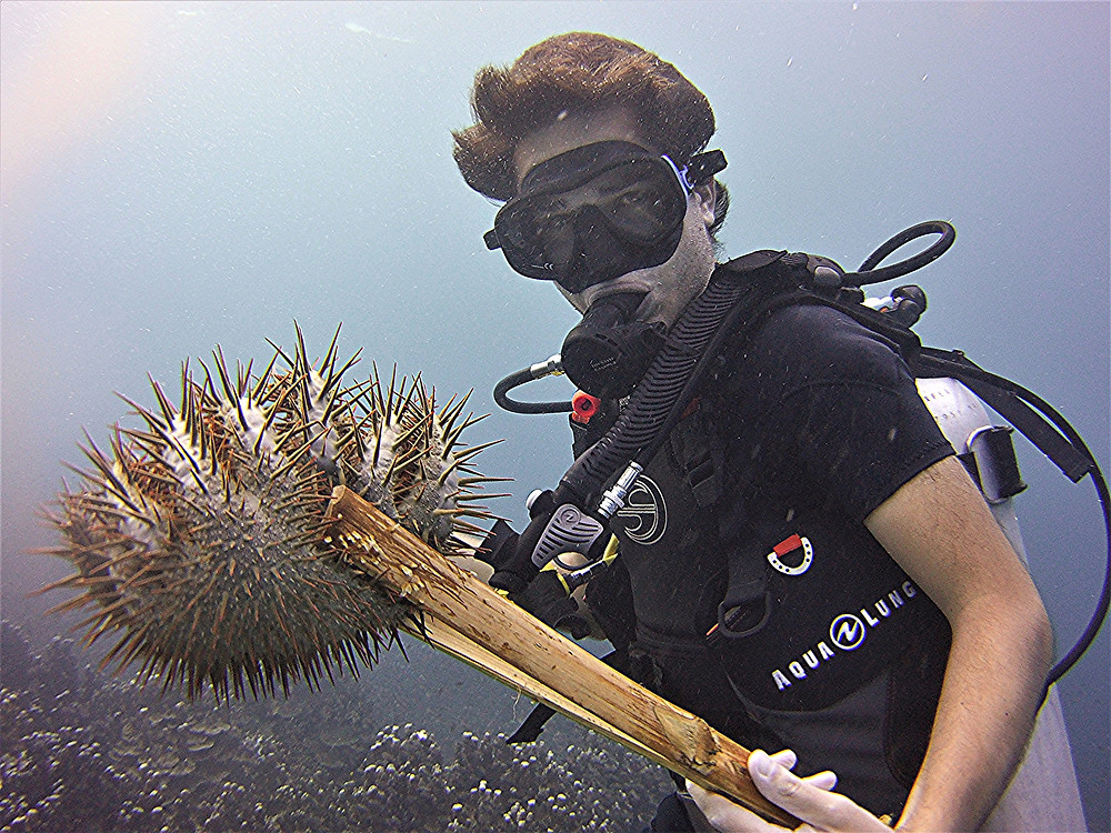 A volunteer holding a Crown of Thorns during the cleanup that took place in Togean Islands in October 2019