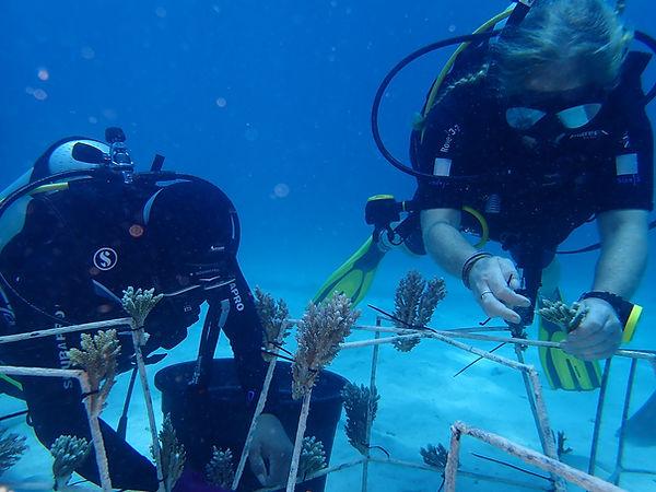 Coral transplants together with Togean I
