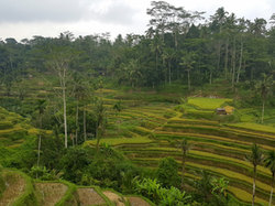 Tegallang Rice Terrace Bali.jpg