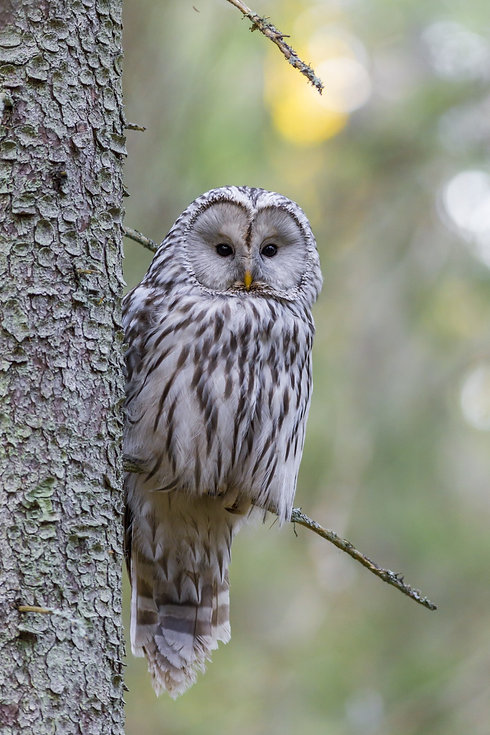 White speckled owl in a tree