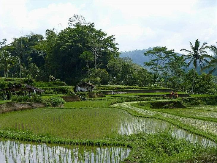 Bali rice field view