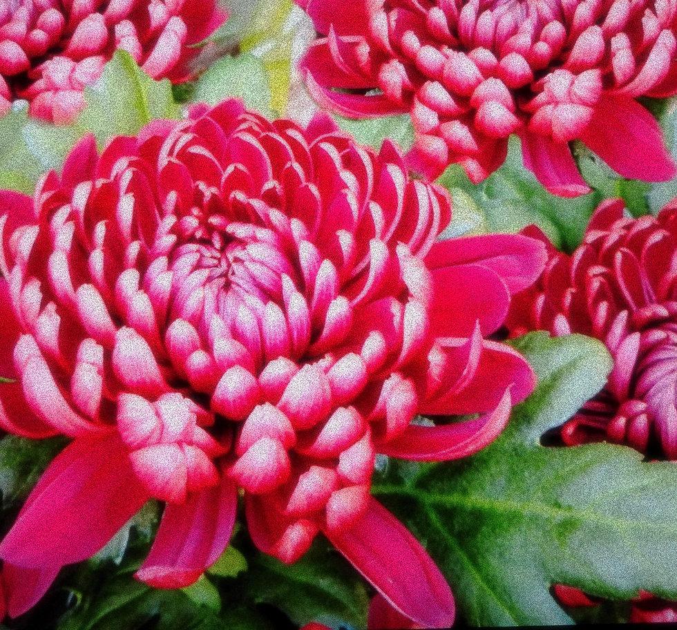 pink crysanthiums