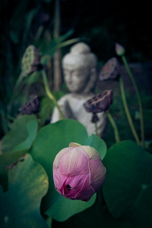 sarah-ball-unsplash - lotus flower with buddha statue in background