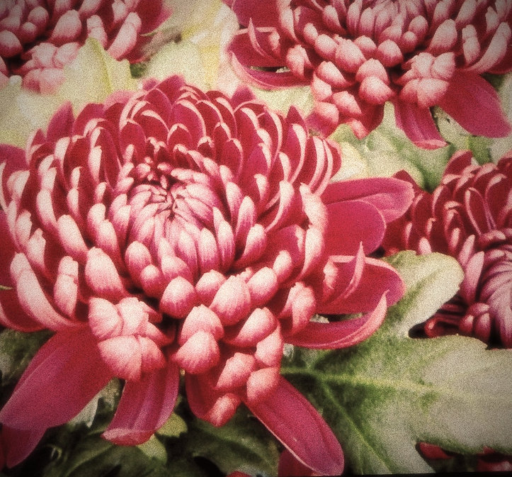Stylised image of pink crysanthams