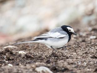 Kyrgyzstan - Birds of Eshigart