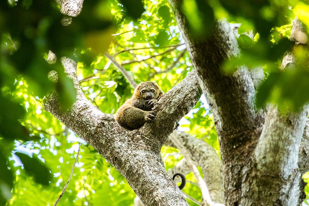 Sulawesi: Tangkoko - sinister-looking bear cuscus.