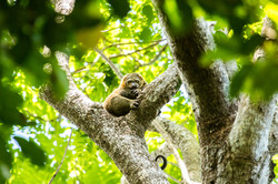 Tangkoko National Park, Sulawesi, Indonesia