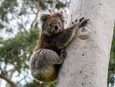 Koala by Michael Prideaux
