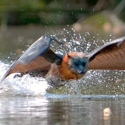 Flying Fox Skimming the River