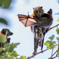 Flying Fox Image