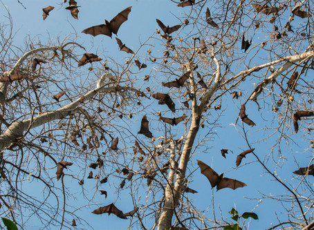 Lisa Roberts 'Outflying'Flying-Foxes