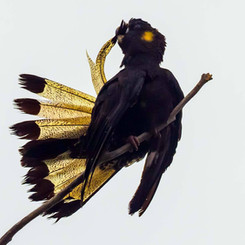 Yellow Tailsed Black Cockatoo