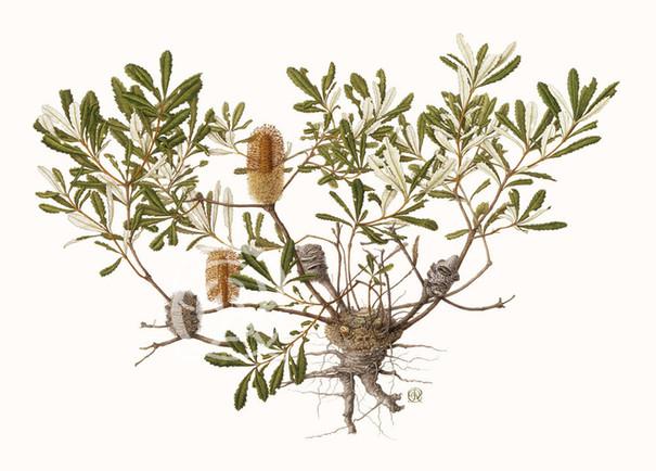 Banksia Paldulosa