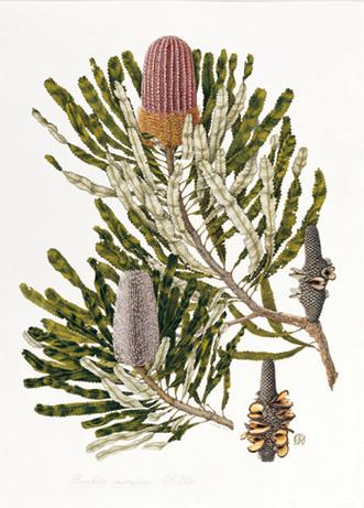 Banksia menziesii (Menzies' Banksia) 1974