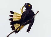 Yellow-tailed Cockatoo