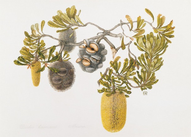 Banksia lemmaniana
