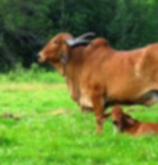 Saavaj_cows.jfif