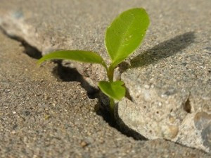 A plant growing through a crack in concrete.