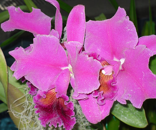 Showstopper by Shari P Kantor spkcreative.com fuchsia orchids