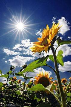 WILL YOU BE LIKE A SUNFLOWER?