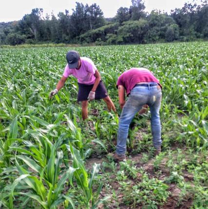 Beans & Greens Farm - Employees cornmaze