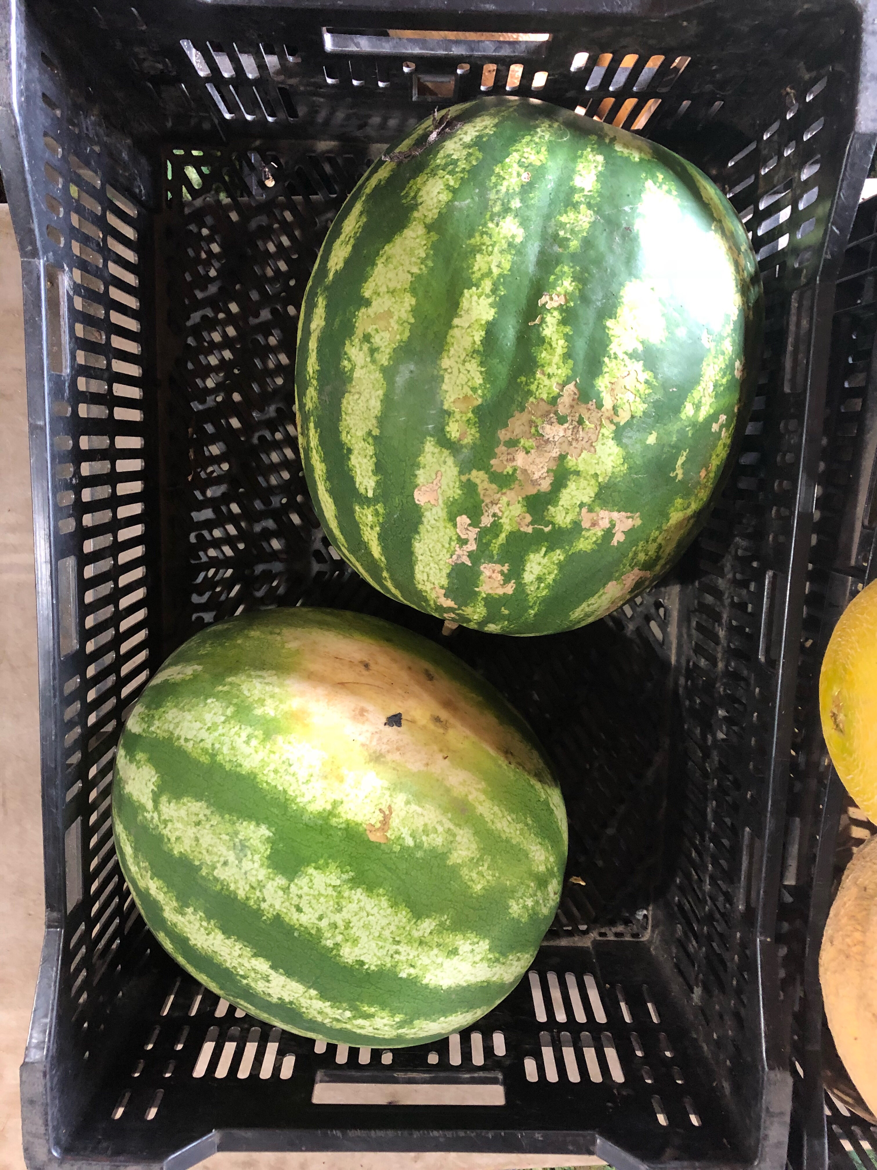 Beans & Greens Farm - Crops Watermelon