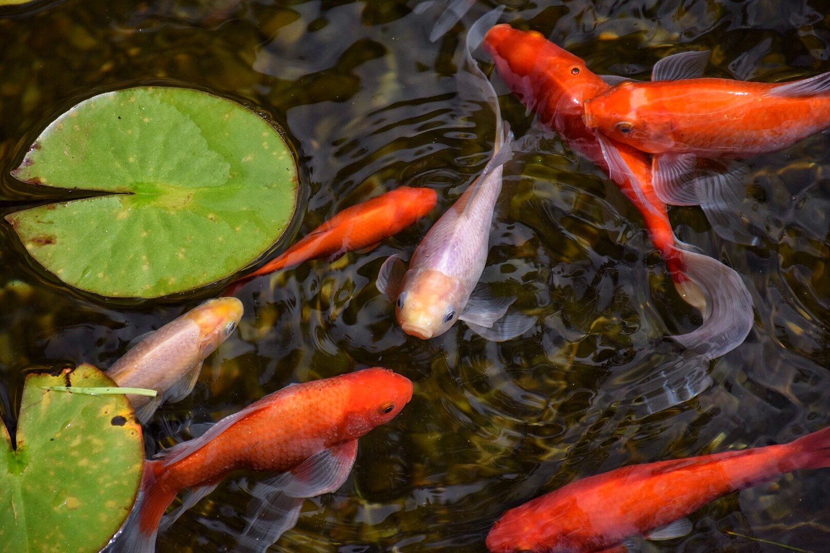 Beans & Greens Farm - farmstand koi pond