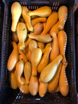 Beans & Greens Farm - Crops Summer Squas