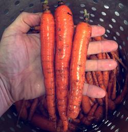 Beans & Greens Farm - Crops Carrots