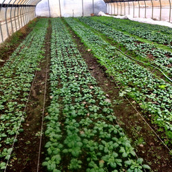 Beans & Greens Farm - crops in greenhouse