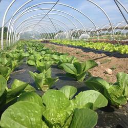 Beans & Greens Farm - Lettuce hothouse