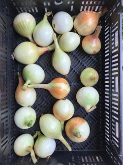 Beans & Greens Farm - Crops Common Onion